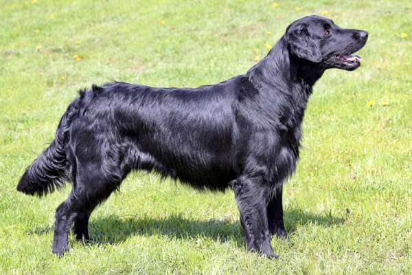 Flat-Coated Retriever razas de perros grandes